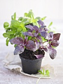 Red and green basil in a pot