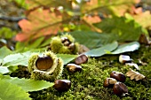 Sweet chestnuts on forest floor with fallen chestnut leaves