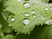 Lady's mantle with drops of water (close-up)