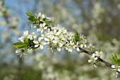 Flowering blackthorn (Sloe)