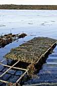 Oyster farming in Galway, Ireland