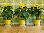 Three sunflowers in yellow pots