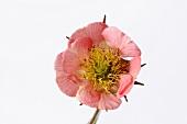 Water avens flower