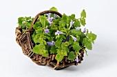 Ground ivy in a wicker basket