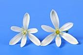 Two Star of Bethlehem flowers