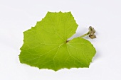 A coltsfoot leaf