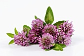 Red clover (Trifolium pratense) flowers and leaves
