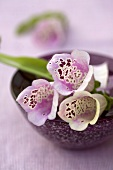 Foxglove flowers in a small dish