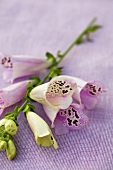Foxglove (Digitalis purpurea)