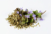 Ground ivy, fresh and dried (Glechoma hederacea)