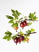 Gooseberries on branches