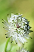 Astrantia (flowering)