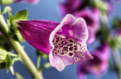Foxglove flower (Digitalis purpurea)