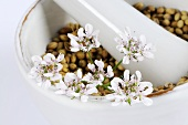 Coriander seeds with flowers in mortar