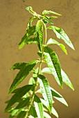 Holy herb, Verbena officinalis