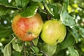Fresh apples (variety: Wintersdorfer Haferapfel) on tree
