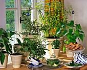 Tea herbs: Salvia dorisiana, Stevia, Nashia, Lippia citriodoro (lemon verbena), Orthosiphon