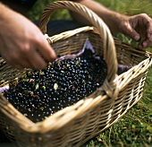 Putting freshly-picked blueberries into a basket