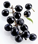 Sloe branch with sloes