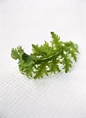 Tatsoi (Asian salad leaf or leafy vegetable)