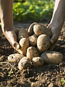 Hands holding freshly dug Maris Piper potatoes
