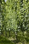 Hop-growing in New Zealand