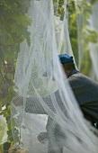 Man netting vines, New Zealand