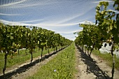 Rows of vines with bird netting, New Zealand