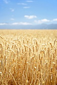 Wheat field, Western Cape, S. Africa