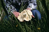 Hands holding a St. George's mushroom