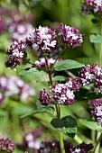 Flowering marjoram in the open air