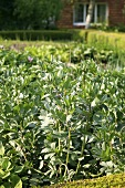 Several flowering broad bean plants in a vegetable bed