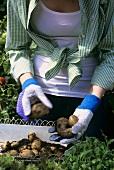Woman sorting freshly dug potatoes