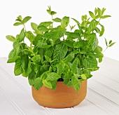 Mint in a terracotta pot