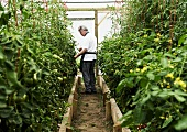 A chef in a greenhouse examining tomatoes