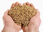 Hands holding green lentils