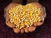 Hands holding corn kernels
