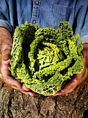 Man holding savoy cabbage in both hands over a tree trunk