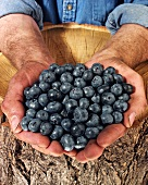 Man holding blueberries in both hands over a tree trunk