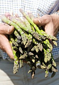 Man holding freshly picked green asparagus in his hands
