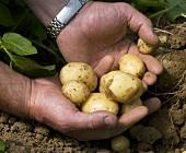 Mann hält frisch geerntete Neue Kartoffeln in den Händen