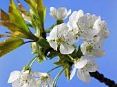 Kirschblüten an einem Zweig vor blauem Himmel