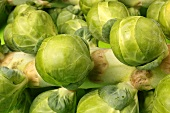 Brussels sprouts on the plant