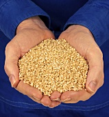 Hands holding wheat grains