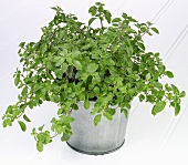Oregano in a herb pot