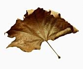 Ein getrocknetes Ahornblatt