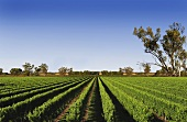 Padthaway - wine region in South Australia
