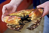 Man holding large crab in his hands (Jersey, Channel Islands)
