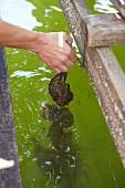 Hand zieht Schnur mit frischen Austern aus dem Meer