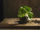 Grumolo verde mit Erde auf einer Schaufel